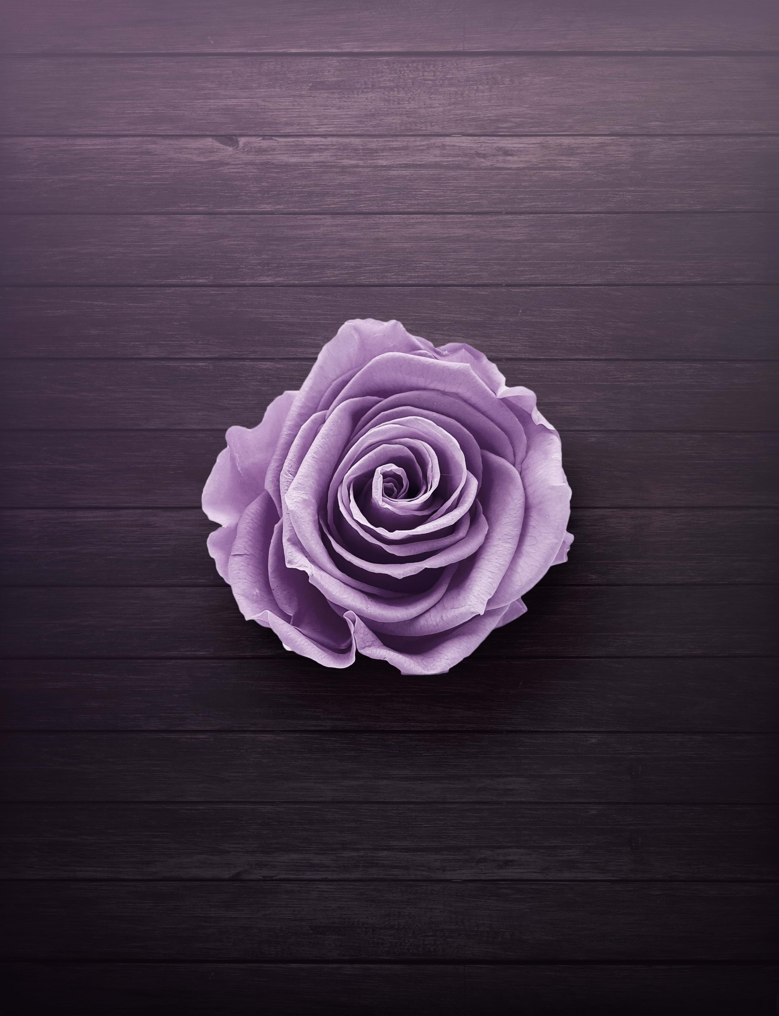 A light purple rose sat on a wooden background